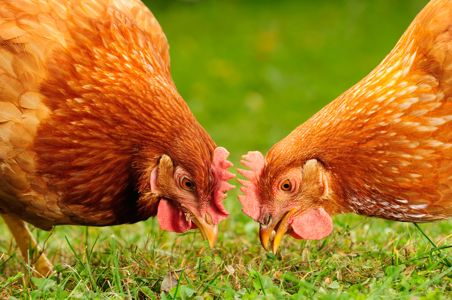 gibiernj-poulet-picorent
